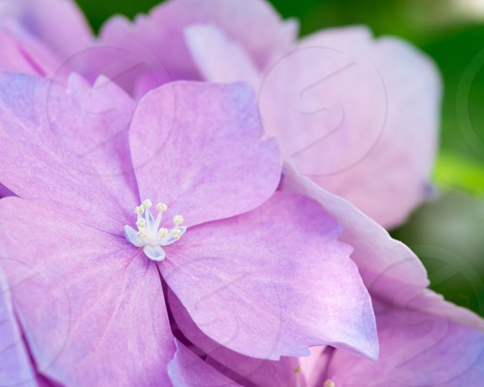 Purple pastel flower brighthappyspring  photo