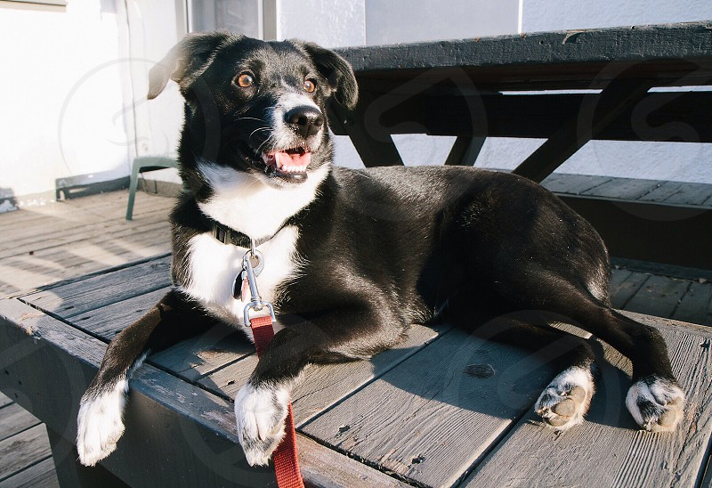 black and white short haired medium sized dog on porch photo