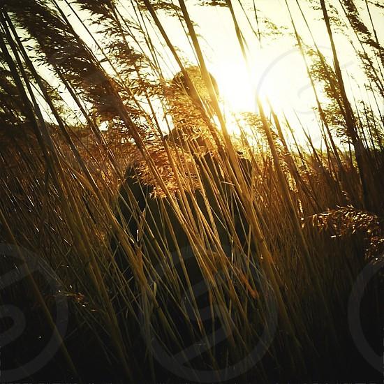Golden wheat field photo