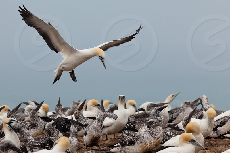 Colony of Australasian Gannets Morus serrator fledging youngs and feeding adult birds photo