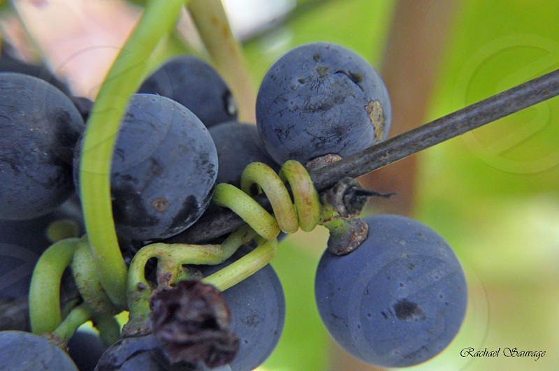 Grapes into Wine photo