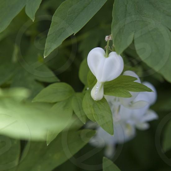 hearts white flower garden spring green  photo