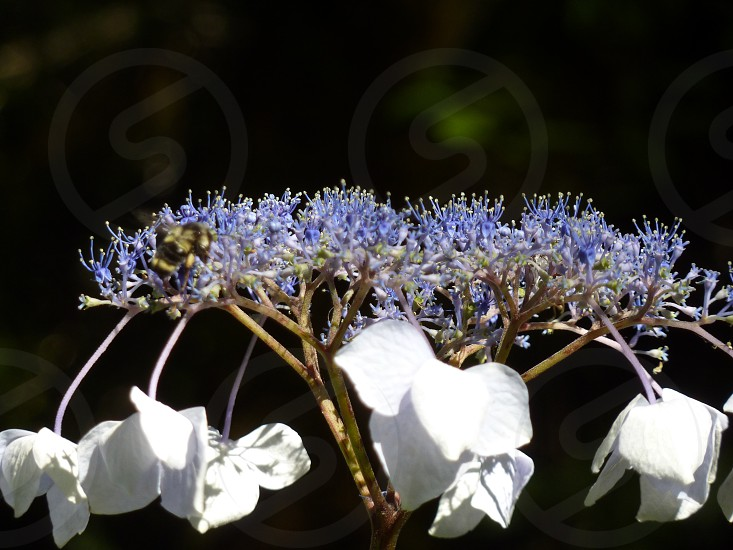 hydrangea with a bee photo