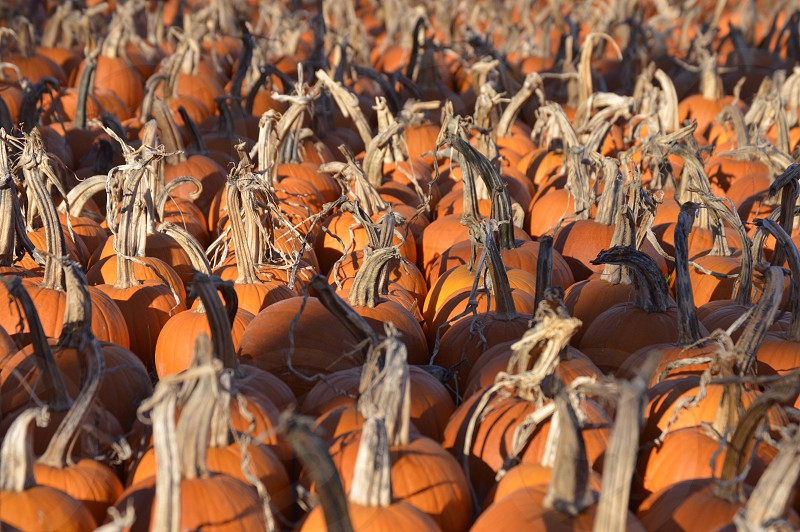 Pumpkin pumpkins stems orange sun shade photo