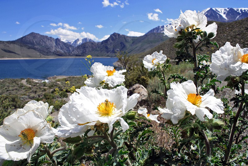 White wildflowers in the foreground near a blue lake surrounded by mountains. photo