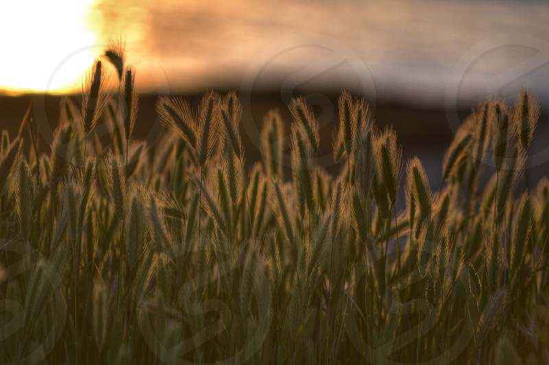 wheat field with sunset view on the background photo