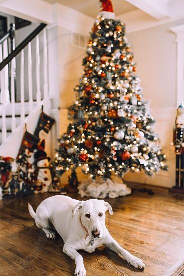 Christmas tree Christmas dog Christmas dog Labrador cute photo