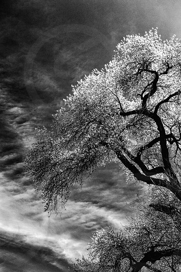 Cottonwood Tree photo