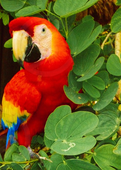 Red Macaw Parrot bird colorful pet photo