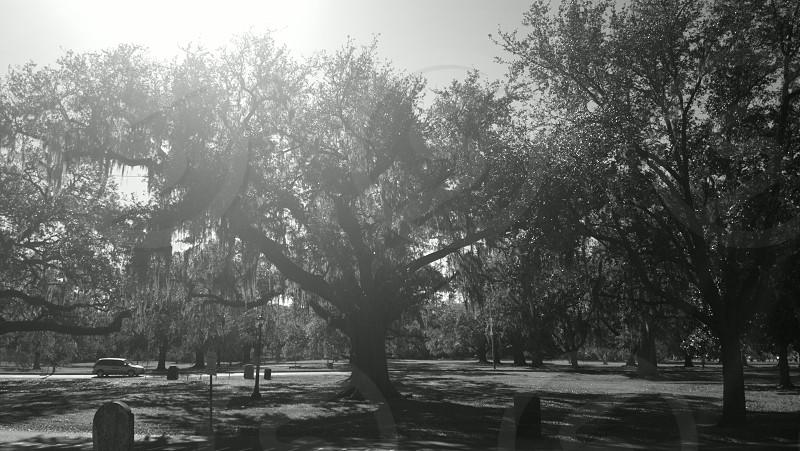 Live Oaks in Audubon Park New Orleans.  b/w photo