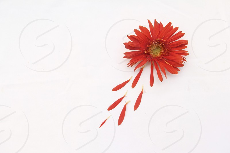 photo of red daisy flower photo