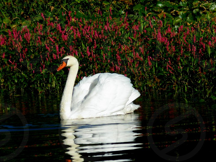Swan on the lake. photo