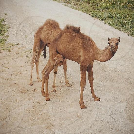 Camel baby zoo photo