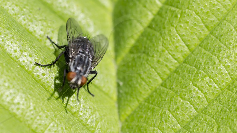 Fly on a leaf. There are more than 120000 species of flies worldwide with about 18000 found in North America. A female housefly can lay up to 600 eggs in her short lifetime. Most flies live an average of 21 days and take on various shapes throughout their short lives.  photo