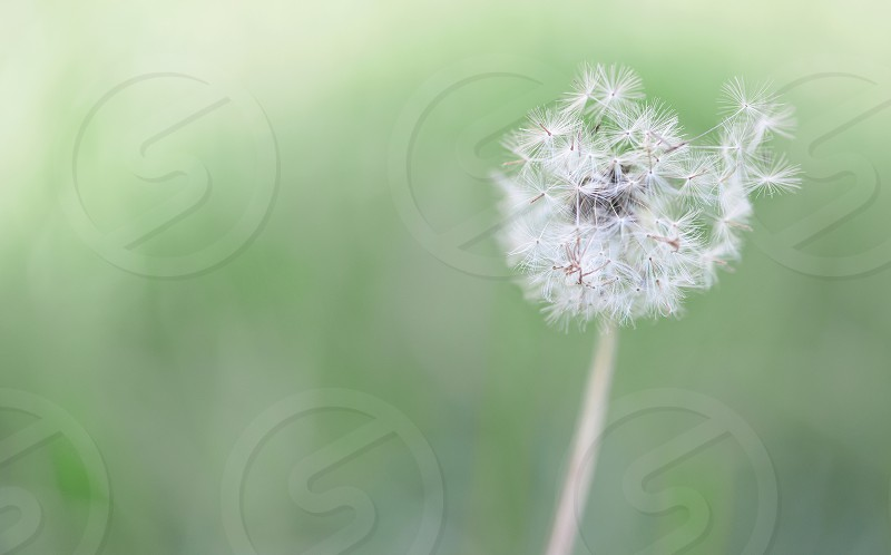 Close up of a puffy dandelion. photo