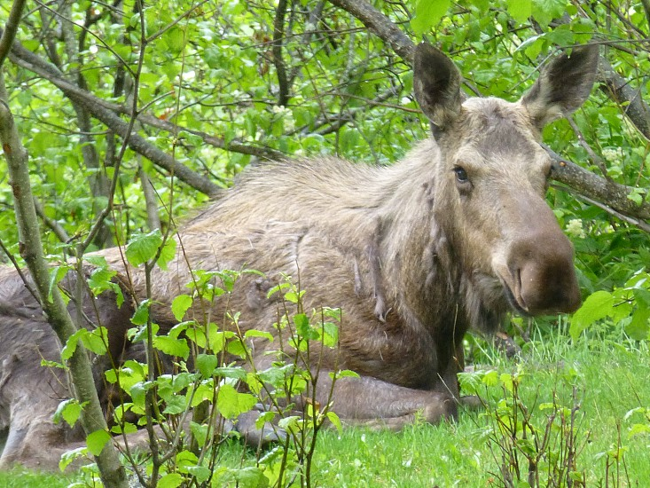 Moose at Kincaid Park photo