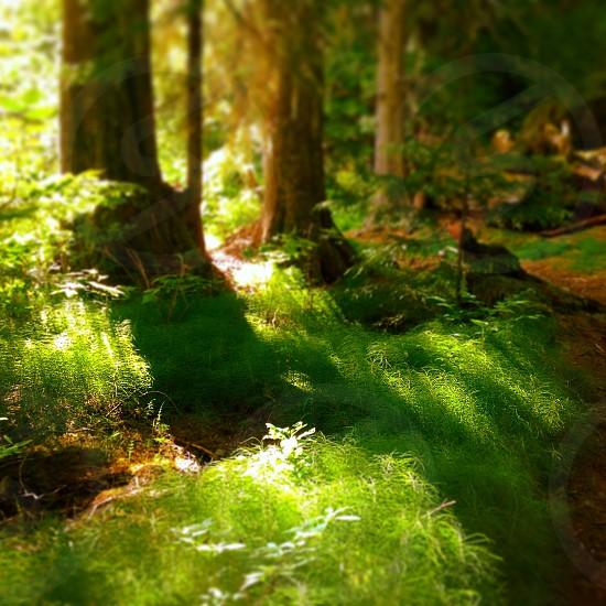 Mossmossywoodsfairytale trailevergreenvibranttrees  photo