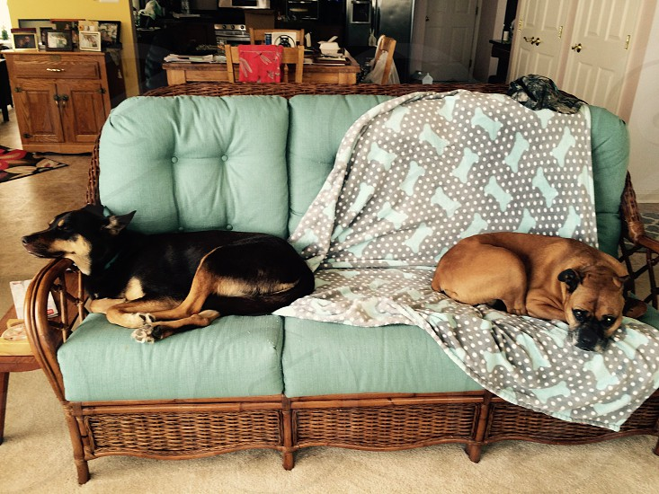 two medium short-coated black and tan dogs lying on tufted green 3-seat sofa photo