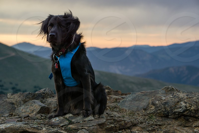 Black dog hiking in the Colorado mountains. photo