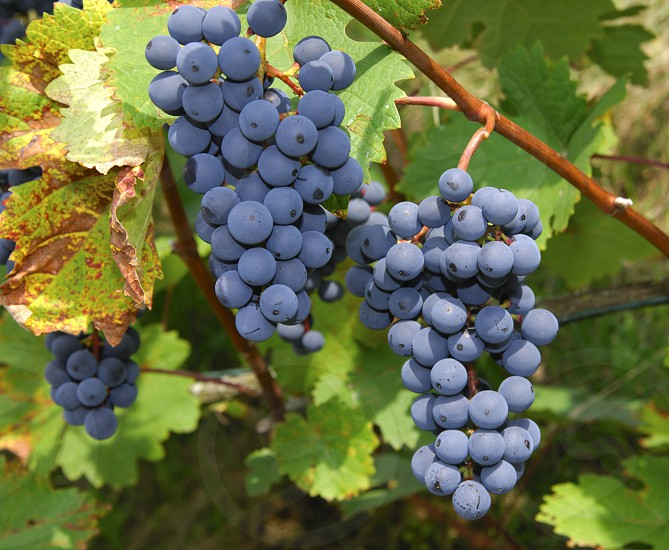 grapes vine vineyard viticulture photo