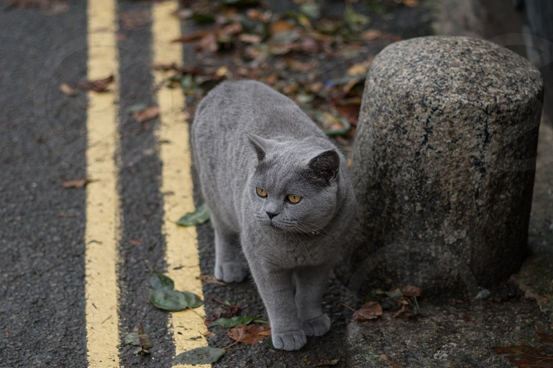 Beautiful grey cat out for a stroll photo