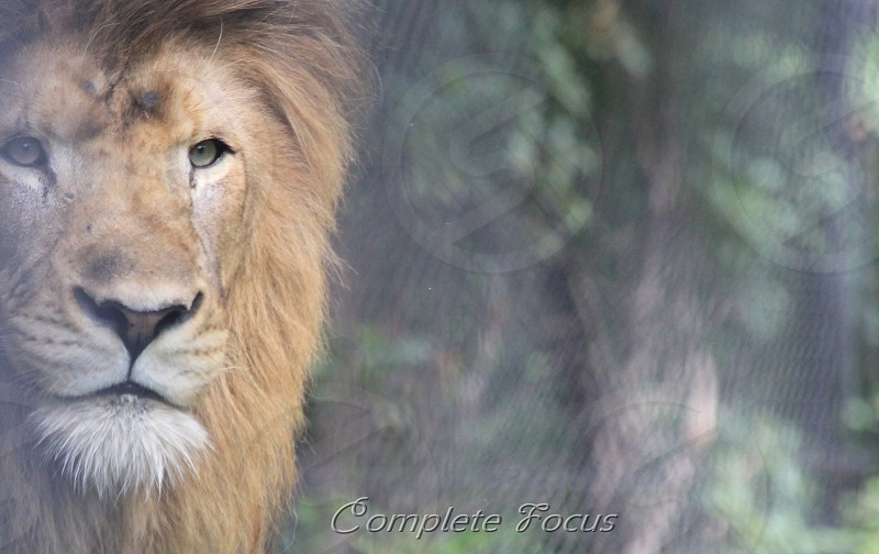 maned lion by deciduous trees photo